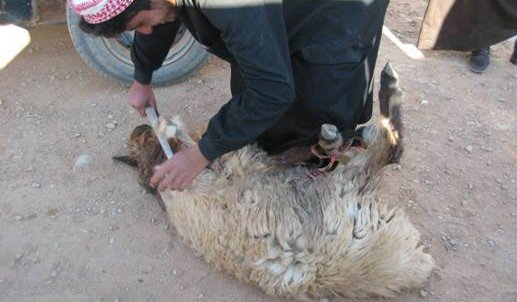 Shearing tools sheep in Al Anbar