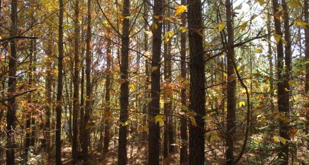 13 year old pines on Matel land forest #2 fall 2008.  They are planted close together, which shaded out other trees.  You can see there are only a few stray hardwoods.  But these trees are too close.  I want to thin them out maybe in 2010.  That is a little early, but the stand is growing well and I think the opening will help.