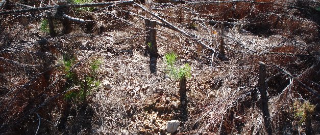 loblolly pine sprouting from thinned stumps