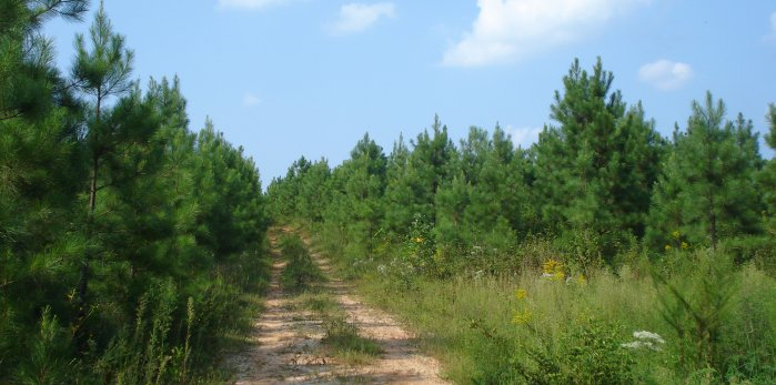 JohnsonMatel tree farm road showing five year old pine trees and wildlife opening