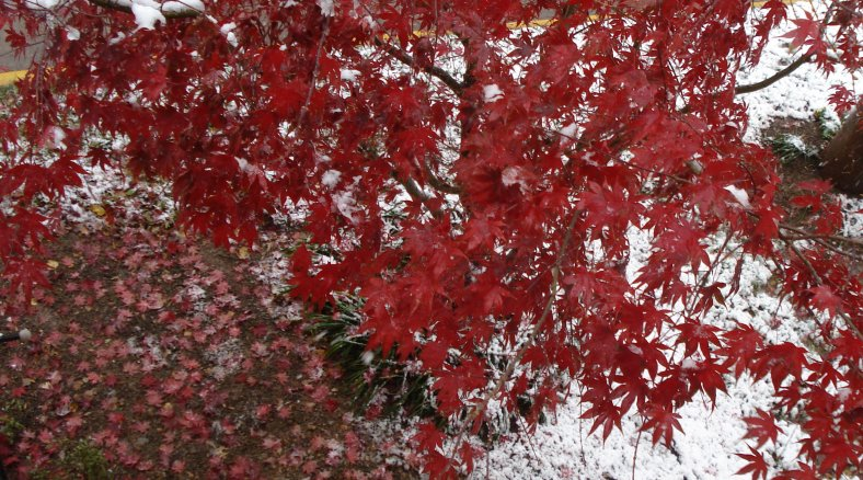 Japanese maple and new fallen snow