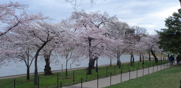 Cherry trees near the Tidal Basin in Washington DC on March 30, 2009