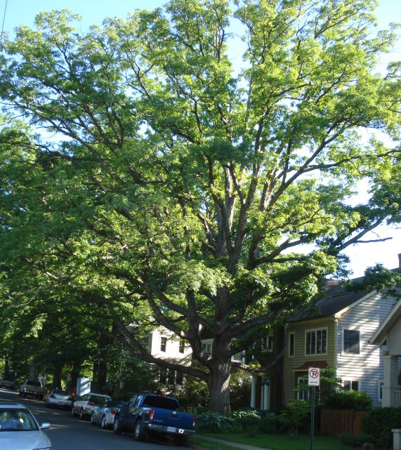 Big oak tree in Arlington VA