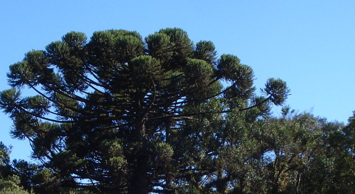 Parana pine in Brazilian state of Parana on May 11, 2009