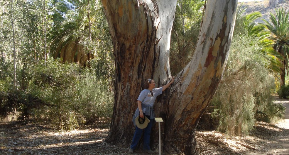 Big eucalyptus tree