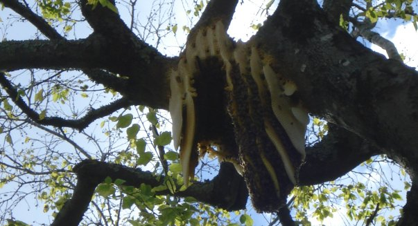 Exposed bee nest