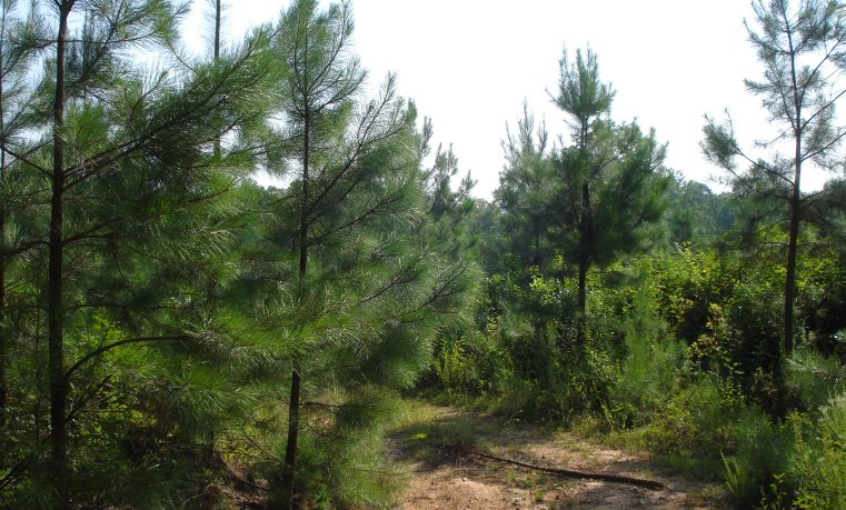 Pines fertilized with biosolids