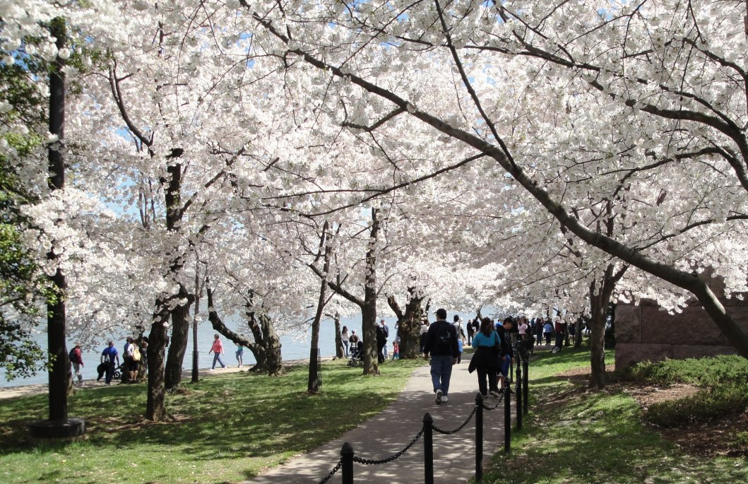 Cherry trees along the path near the Tidal Basin