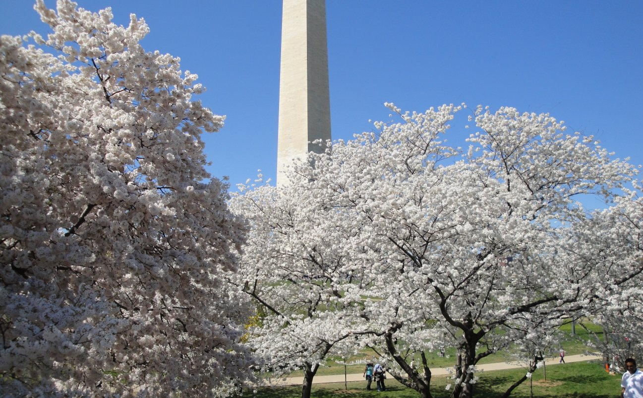 Washington Monument through the cherry trees