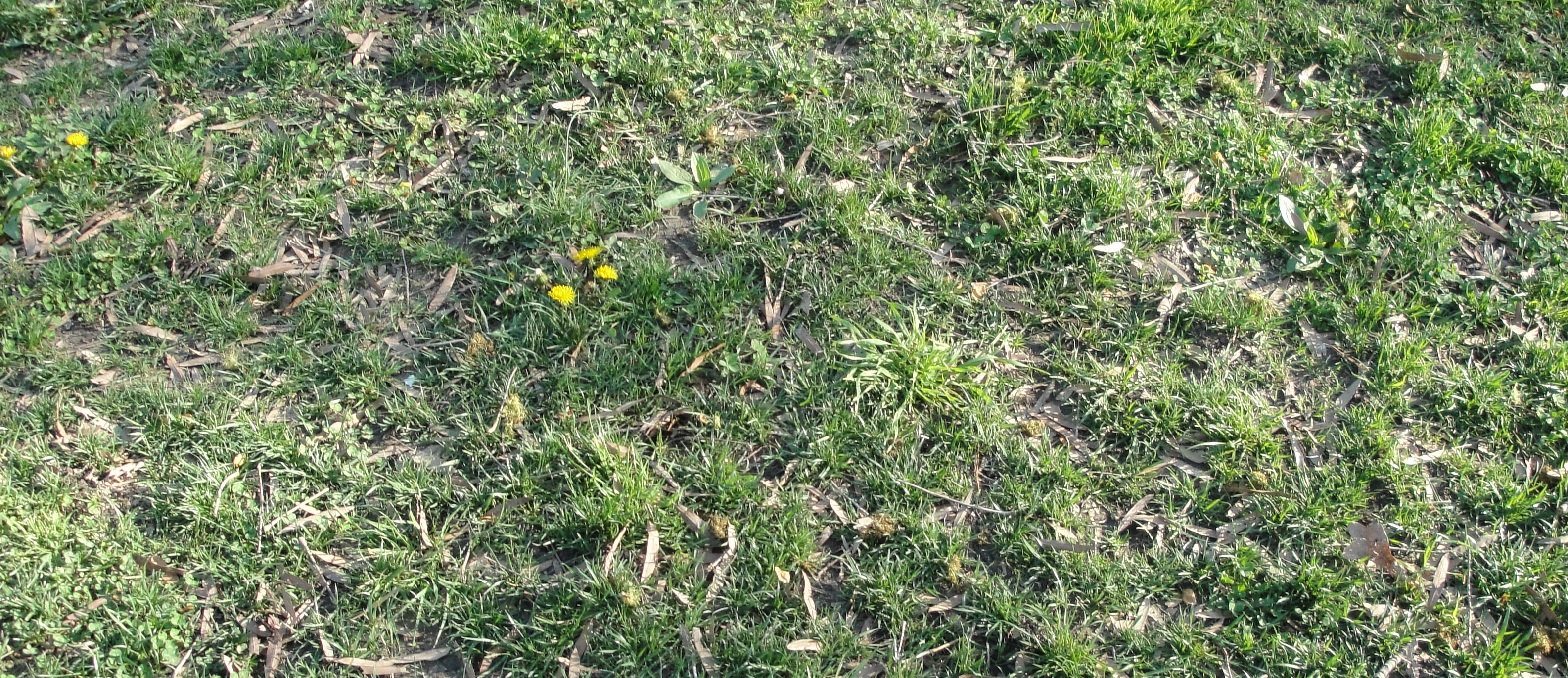 Mixed weedy lawn