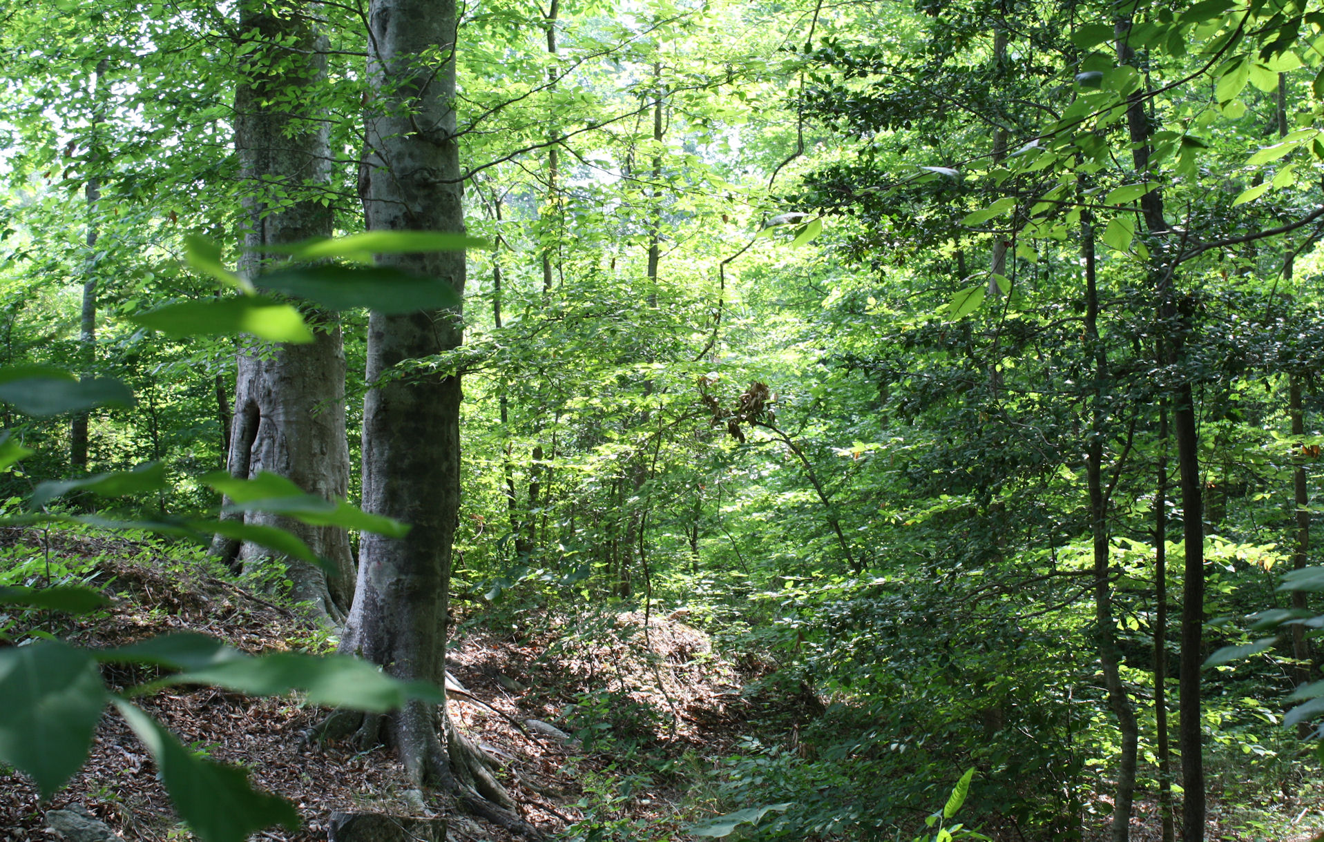 Beech forest on Johnsonmatel tree farm