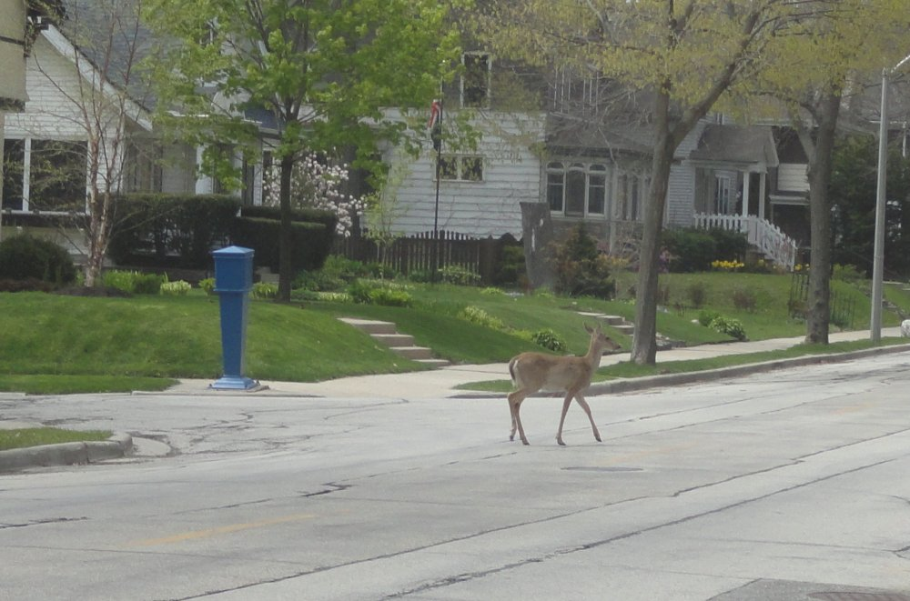 Deer crossing Superior Ave in Milwaukee, Wisconsin