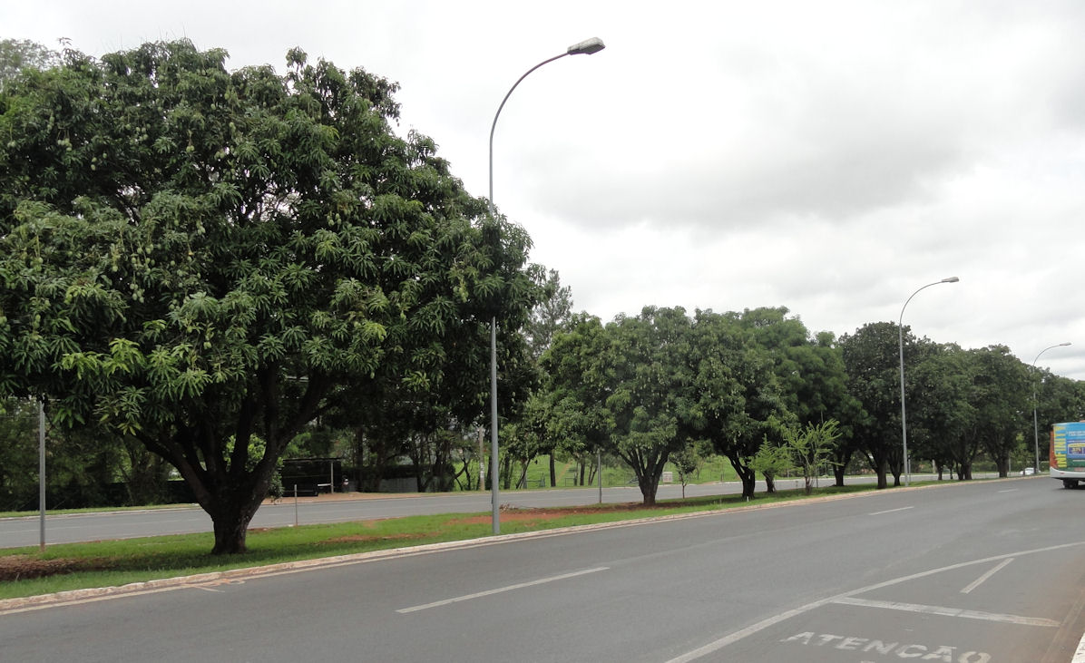 Mangoes on median strip in Brasilia