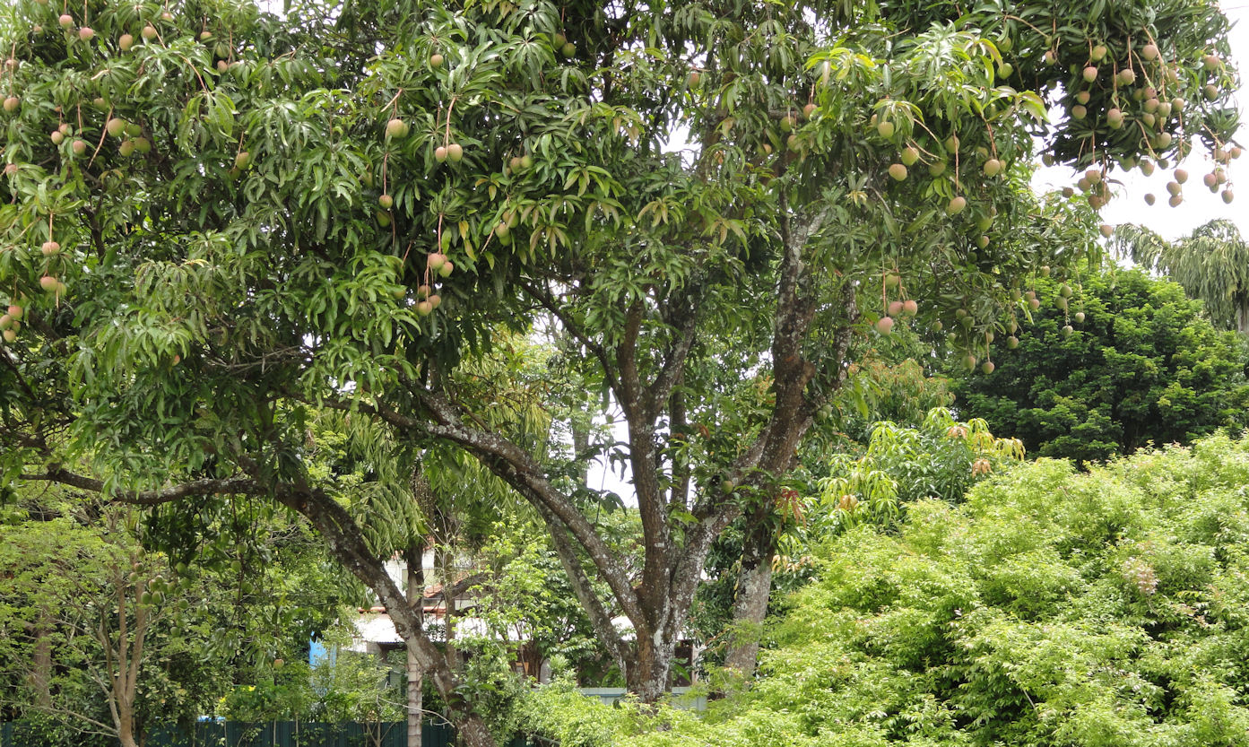 mango tree in my yard in Brasilia