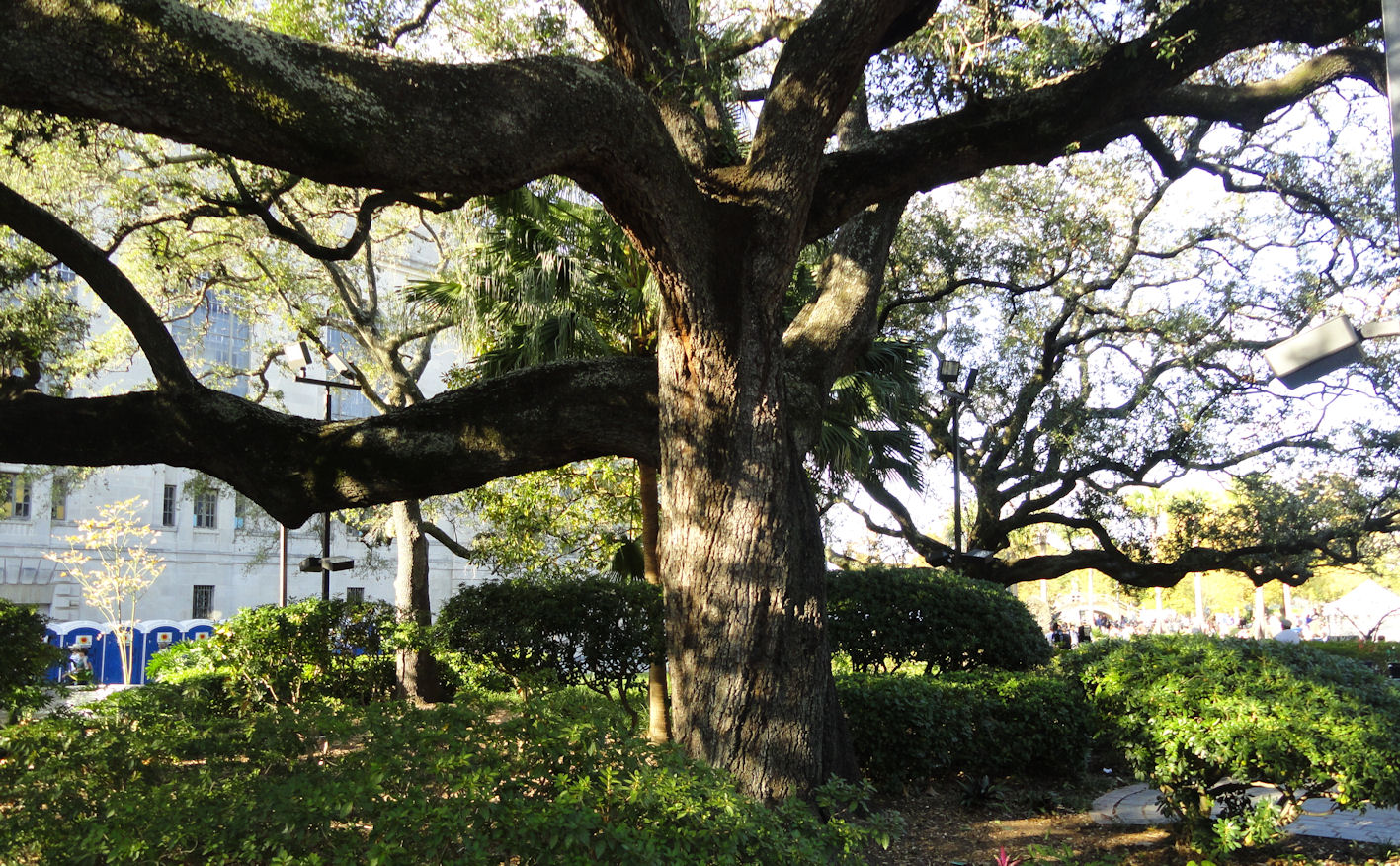 Big live oak tree in New Orleans