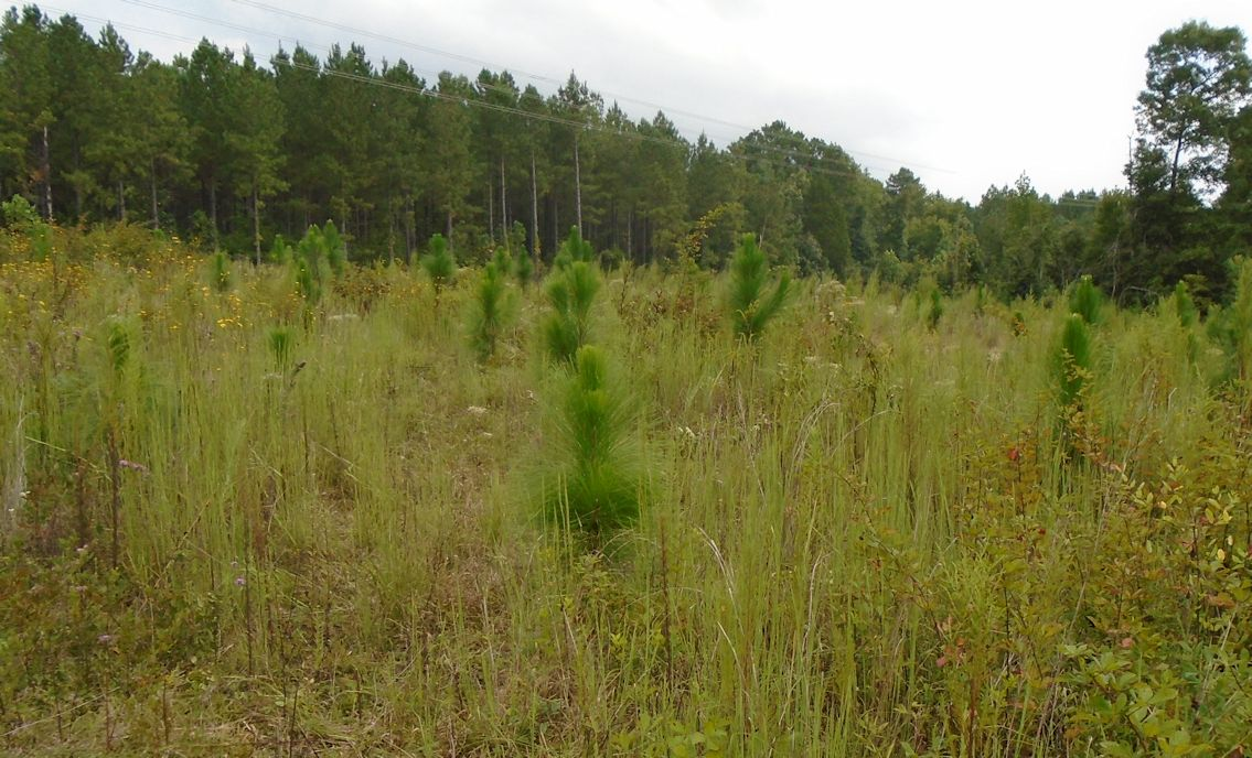 http://johnsonmatel.com/2015/September/Longleaf_field_Sept_2015_looking_north.jpg